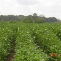 Cotton crop...2010 year