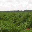 2010 cotton crop