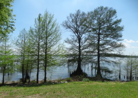 Mature Cypress Trees