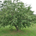 Granny Smith Apple Tree by House