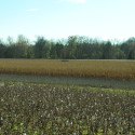 One of many duck blinds (standing corn)